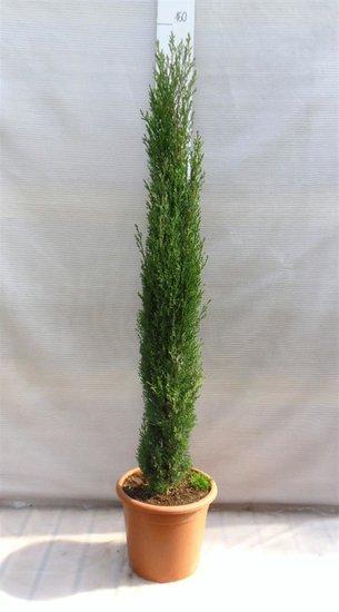 Cupressus Sempervirens Totem pot Ø 30cm - 12 Ltr - totale hoogte 140-160 cm