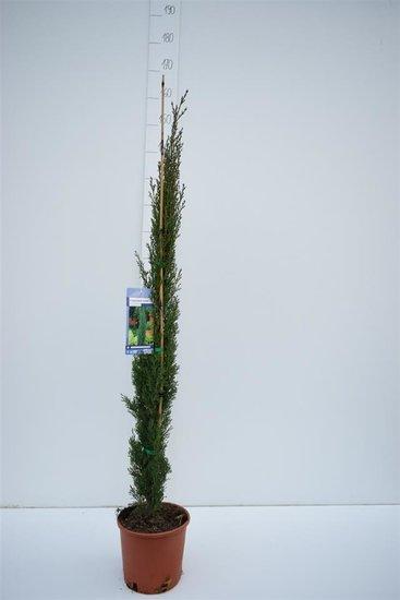 Cupressus Sempervirens Totem - totale hoogte 110-130 cm - 5,4 Ltr Ø 23 cm pot