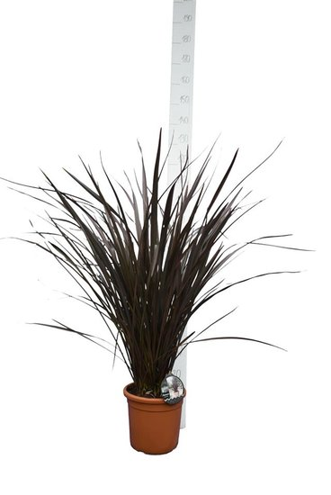 Phormium Red Sensation pot Ø 25 cm