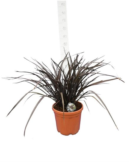 Phormium Amazing Red pot Ø 40 cm