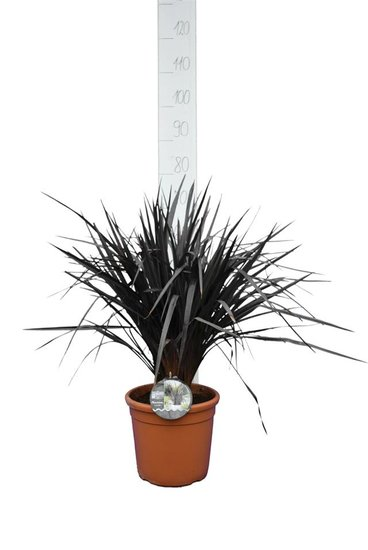 Phormium Back in Black pot Ø 25 cm