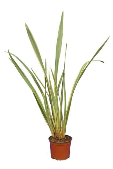 Phormium yellow wave pot Ø 19 cm