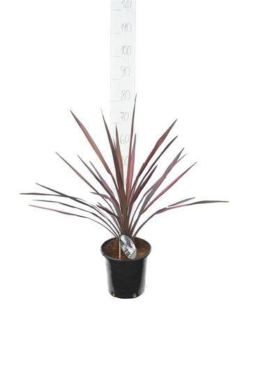 Cordyline Purple Sensation pot Ø 22 cm