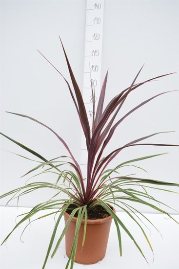 Cordyline Can Can totale hoogte 90-110 cm