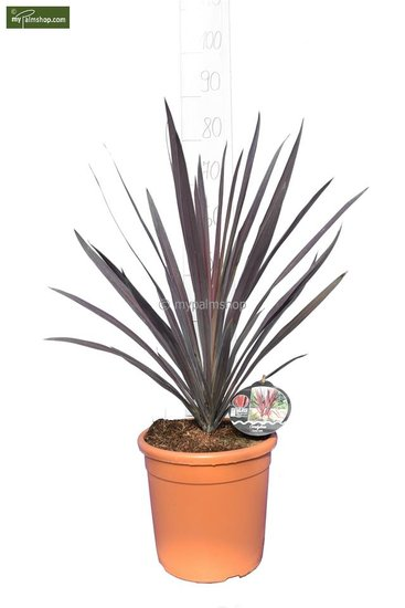 Cordyline australis Purple Tower Ø 24 cm pot