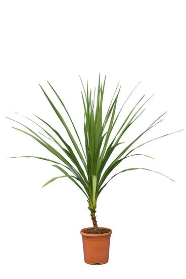 Cordyline australis pot Ø 22 cm