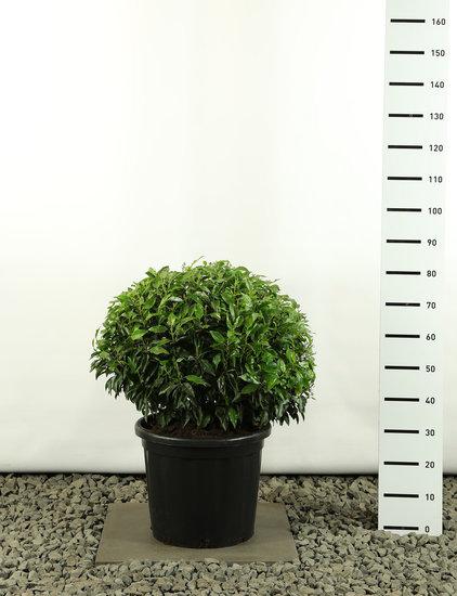 Prunus angustifolia bol Ø 60-80 cm