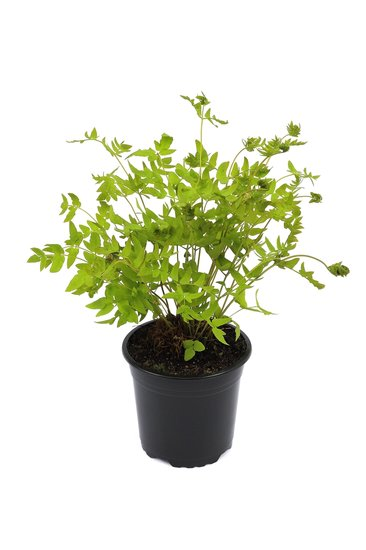 Osmunda regalis pot 2 ltr