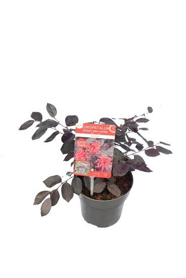 Loropetalum Ever Red pot Ø 14 cm
