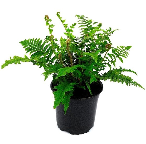 Dryopteris affinis Crispa 1,7 Ltr pot
