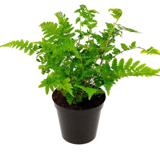 Dryopteris filix-mas 5 Ltr pot