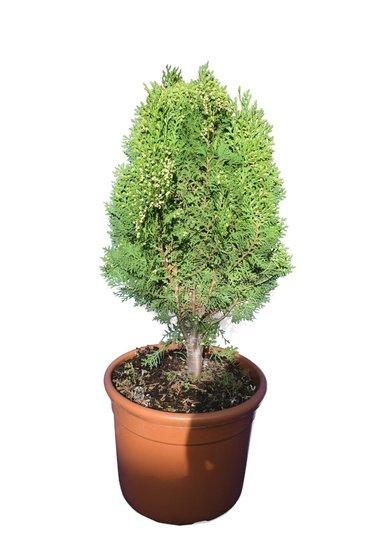 Thuja orientalis Aurea Nana pot Ø 32 cm