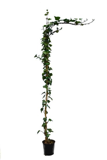 Hedera Verde de Irlanda pot Ø 18 cm - 3 ltr