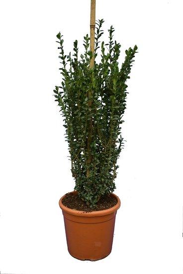Ilex crenata 'Caroline Upright' zuil pot Ø 28 cm -  totale hoogte 100-120 cm