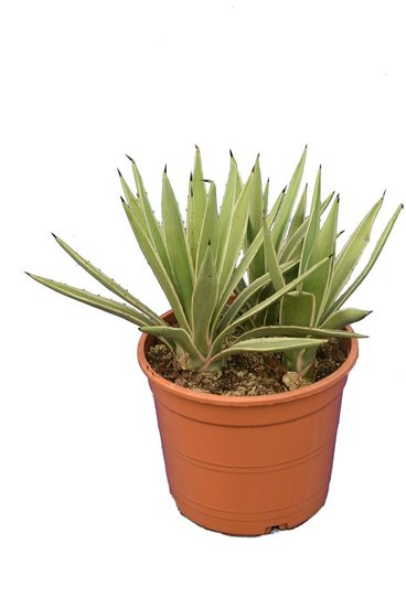 Agave angustifolia Variegata multitrunk pot Ø 22 cm