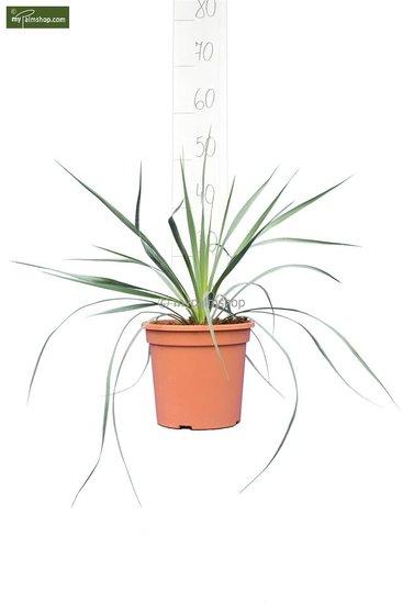 Yucca rostrata totale hoogte 40-60 cm pot Ø 20 cm