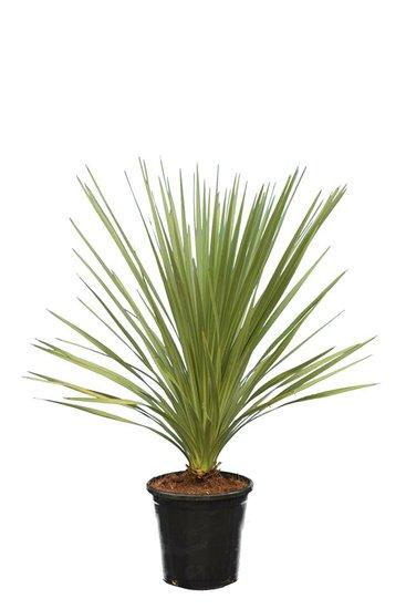 Cordyline australis totale hoogte 80-100 cm pot Ø 26 cm