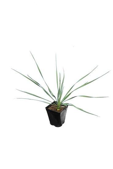 Yucca rostrata Sapphire Skies totale hoogte 40+cm pot P11