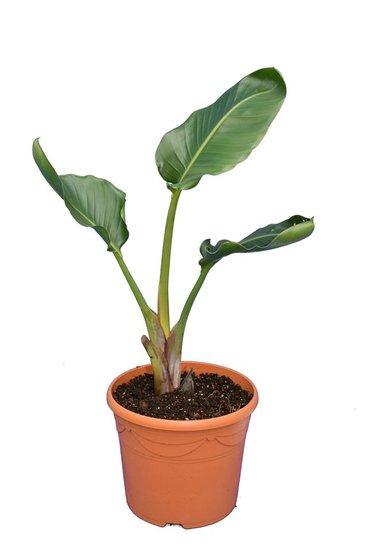 Strelitzia nicolai - totale hoogte 70-90 cm - pot Ø 31 cm