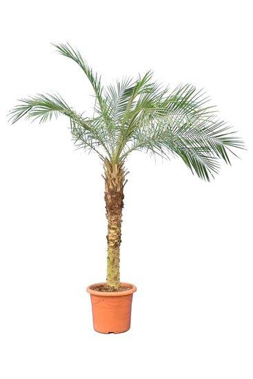 Phoenix roebelenii - stam 80-100 cm [pallet]