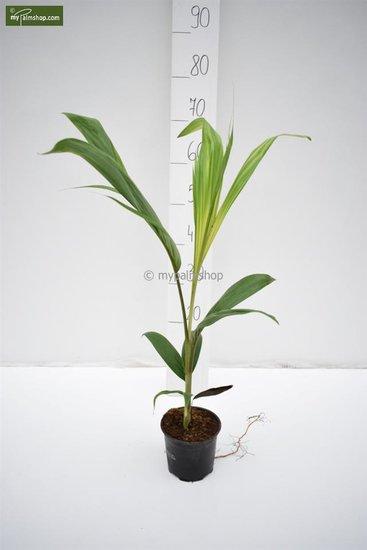 Archontophoenix cunninghamiana - totale hoogte 60-80 cm - pot Ø 13 cm