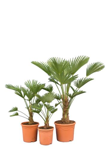 Trachycarpus wagnerianus Frosty - Set van 3: 1 x 50-70 - Ø 23 cm / 1 x 70-90 - Ø 26 cm / 1 x 100-120 - Ø 30 cm