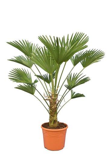 Trachycarpus wagnerianus Frosty - stam 30-40 cm - totale hoogte 120-140 cm - pot Ø 35 cm