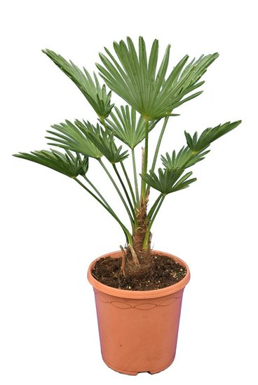 Trachycarpus wagnerianus Frosty - totale hoogte 50-70 cm - pot Ø 23 cm