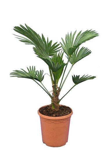 Trachycarpus wagnerianus Frosty - totale hoogte 60-80 cm - pot Ø 23 cm