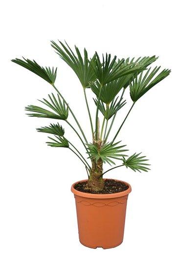 Trachycarpus wagnerianus Frosty - stam 15-25 cm - totale hoogte 70-90 cm - pot Ø 26 cm