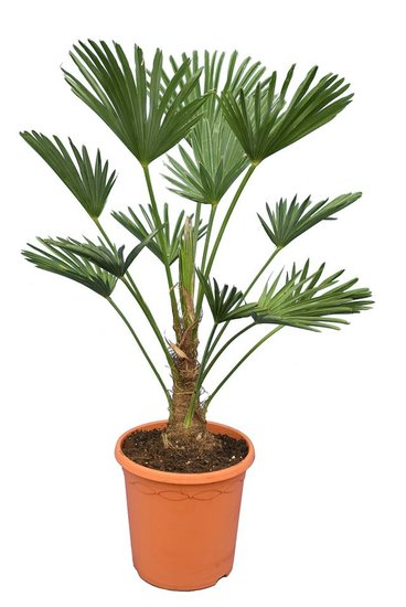 Trachycarpus wagnerianus Frosty - stam 20-30 cm - totale hoogte 90-110 cm - pot Ø 26 cm