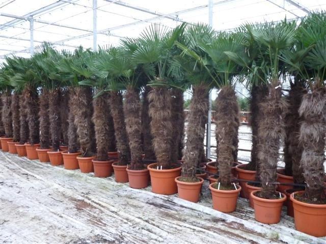 Trachycarpus wagnerianus - stam 140-160 cm - pot 90 ltr [pallet]