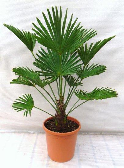 Trachycarpus wagnerianus - stam 15-25 cm - totale hoogte 90-110 cm - pot Ø 26 cm