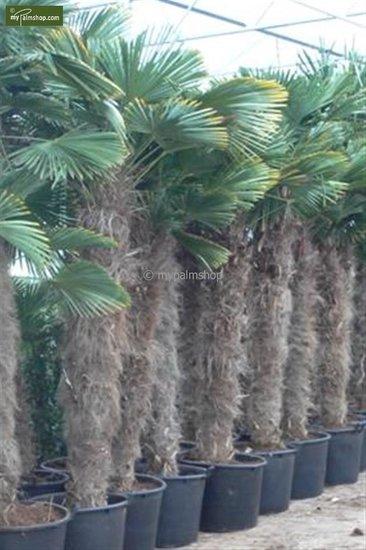 Trachycarpus wagnerianus - stam 180-200 cm - pot 110 ltr [pallet]