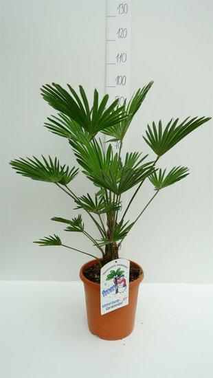 Trachycarpus wagnerianus - stam 15+ cm - totale hoogte 80-100 cm - pot Ø 26cm