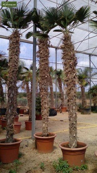 Trachycarpus wagnerianus - stam 200-225 cm [pallet]
