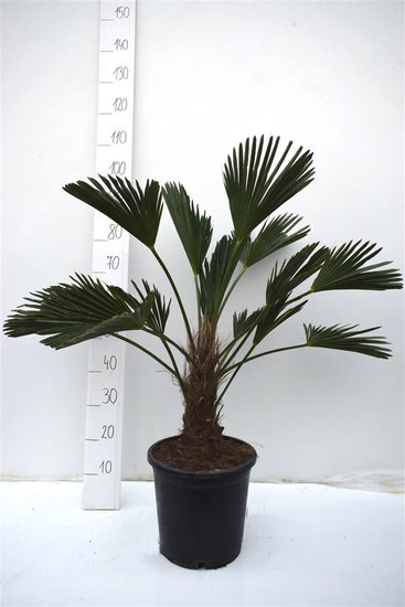 Trachycarpus wagnerianus - stam 20-30 cm - totale hoogte 90-100 cm - pot Ø 31 cm