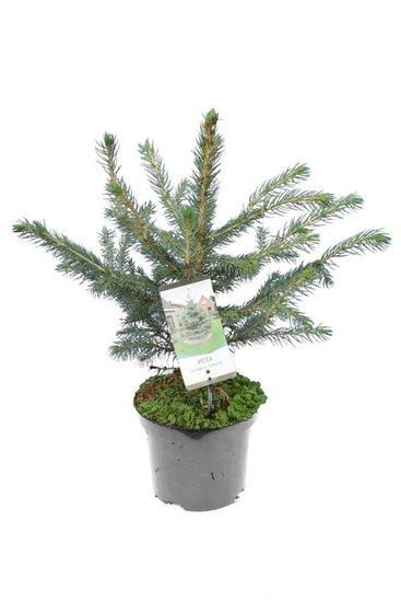 Picea pungens Glauca - totale hoogte 50-60 cm - pot 3 ltr