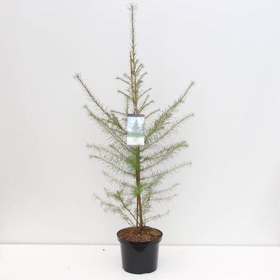 Larix decidua - totale hoogte 100-120 cm - pot 5 ltr