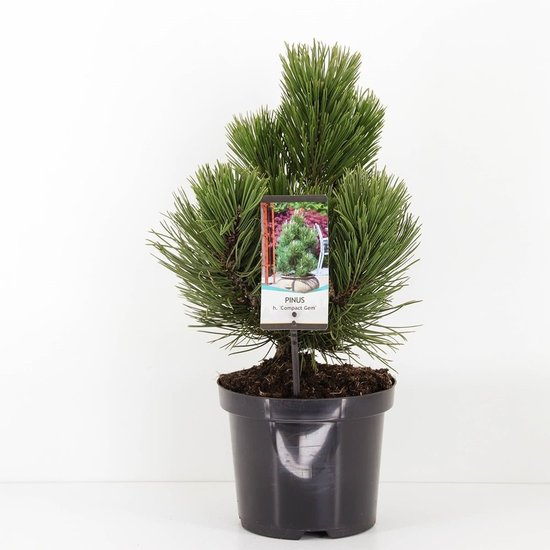 Pinus heldreichii Compact Gem - totale hoogte 40-50 cm - pot 3 ltr