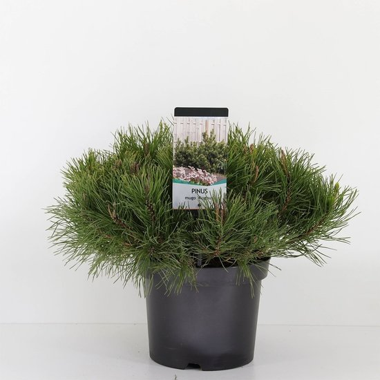 Pinus mugo mughus - totale hoogte 40-50 cm - pot 3 ltr
