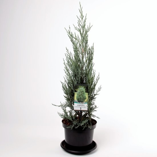 Juniperus scopulorum Moonglow - totale hoogte 70-80 cm - pot 3 ltr