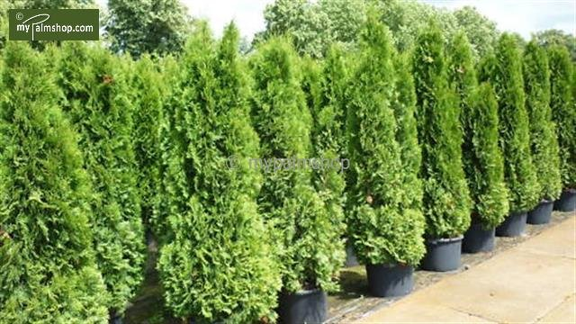 Thuja occidentalis Smaragd (POTPLANT) 5 ltr - totale hoogte 100-120 cm