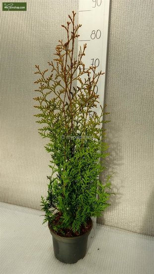 Thuja occidentalis Brabant (POTPLANT) 2 ltr pot - totale hoogte 50-70 cm