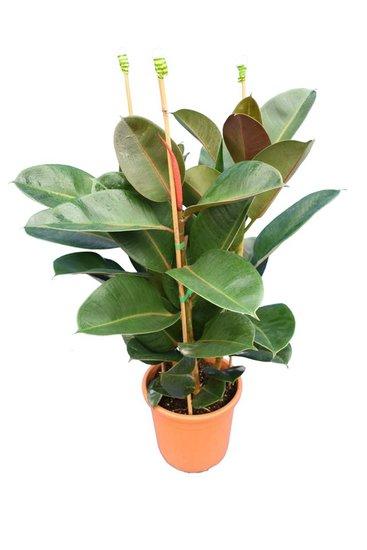 Ficus elastica Robusta pot Ø 25 cm