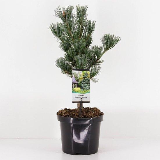 Pinus parviflora Glauca - totale hoogte 50-60 cm - pot 3 ltr