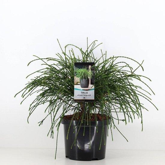 Thuja plicata whipcord -  totale hoogte 40+ cm - pot 5 ltr