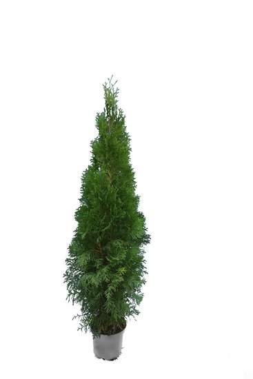 Thuja occidentalis Smaragd (POTPLANT) - totale hoogte 100-120 cm - pot 7.5 ltr