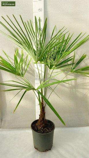 Trachycarpus sp. Kumaon - stam 10-20 cm - totale hoogte 130-150 cm - pot Ø 30 cm
