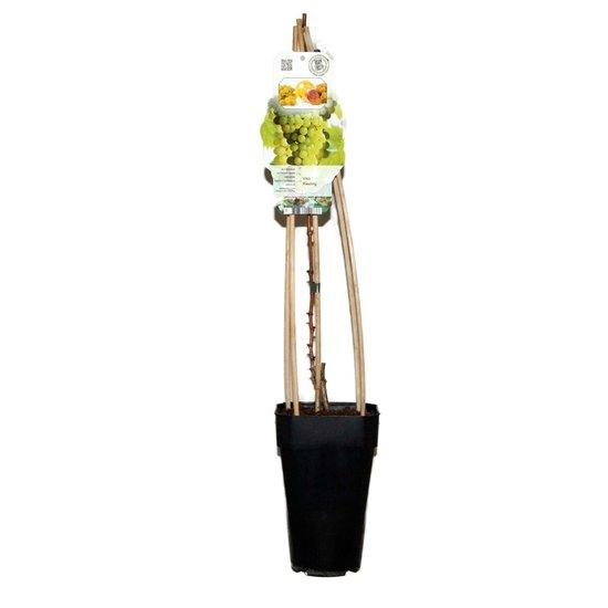 Vitis riesling - totale hoogte 60-80 cm - 2 ltr pot